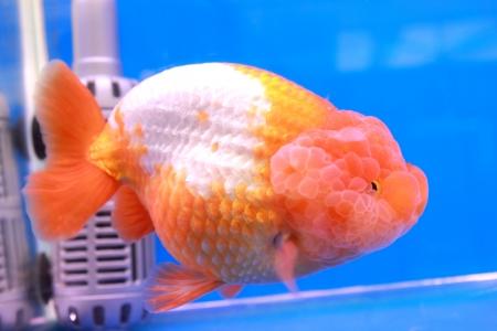 Gold fish Stock Photo - 14365873
