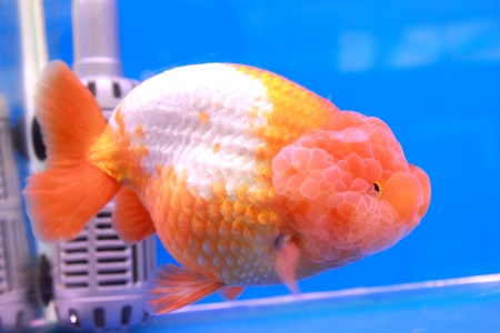 Gold fish Stock Photo - 14365873