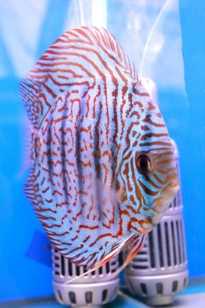 discus fish photo