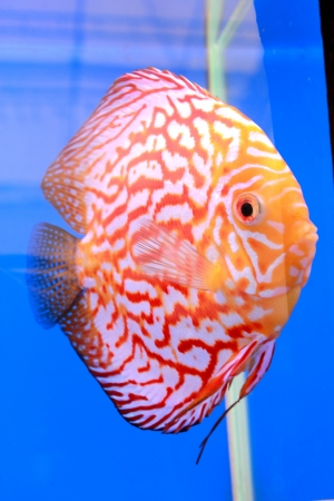 discus fish Stock Photo - 14365883
