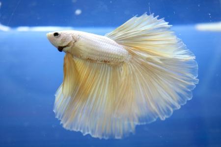 betta pet fish, siamese fighting fish on black background Stock Photo - 14365897
