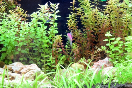 fish tank: A beautiful tropical planted freshwater aquarium Stock Photo