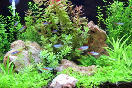 beautiful planted tropical freshwater aquarium with bright blue neons photo