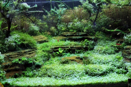 A beautiful planted tropical freshwater aquarium with bright blue neons photo