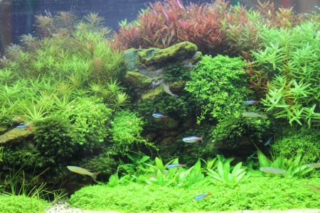 live coral: A beautiful planted tropical freshwater aquarium with bright blue neons and rummy nosed tetra fishes