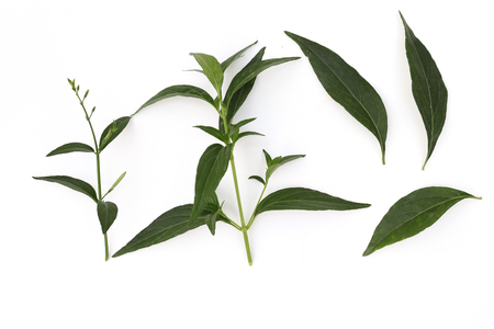 Andrographis paniculata plant, Andrographis paniculata green herbal isolated on white background High resolution image gallery. Stock Photo