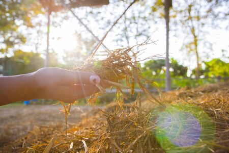 The woman is holding a hay, straw, stubble of the old grass. Procurement of feed for livestock or for sprinkling the beds. Real lens flare shot.  High resolution image gallery.