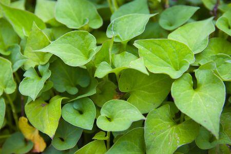 Plu Kaow or Houttuynia cordata Thunb. Herbs for cancer treatment, Houttuynia cordata kwon as fish mint Thai herbal medicine.