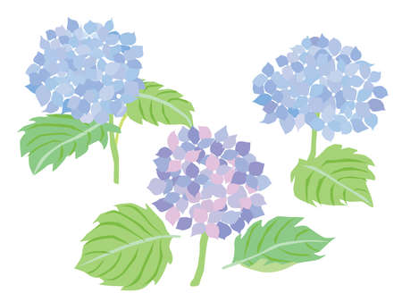 Illustration of the hydrangea of the bluish violet