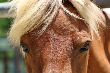 Blonde horse Stock Photo