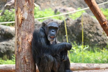 Chimpanzee stare