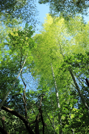 Bamboo grove looking up