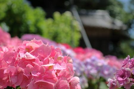 Pink color hydrangea