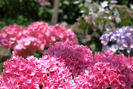 in full bloom: Pink colored hydrangea