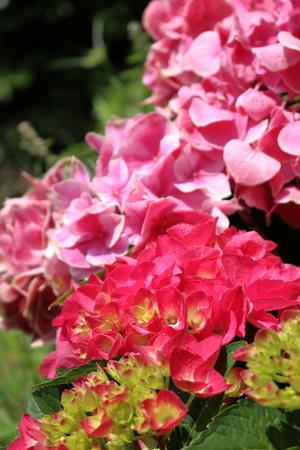 Bright red hydrangea