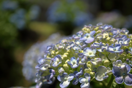 in full bloom: hydrangea