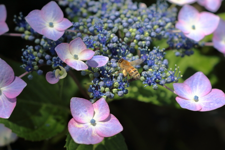 in full bloom: Honey bee collecting nectar of flowers Stock Photo