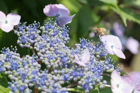 heartwarming: Honey bee collecting nectar of flowers Stock Photo