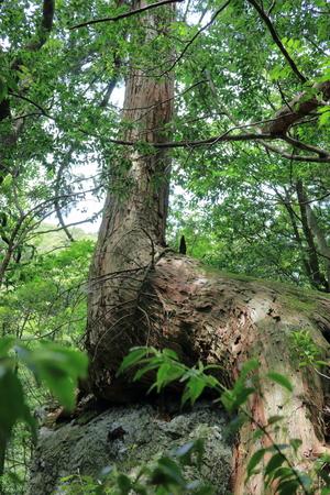 White cedar grow on rocks in Kochi city artificial stone mountain