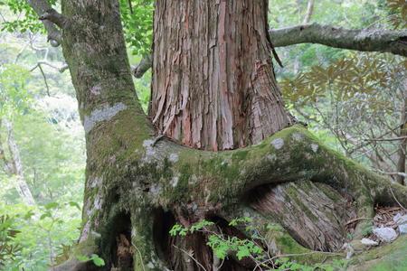 Strangler fig trees trochodendron aralioides Kochi city, artificial stone mountain 写真素材