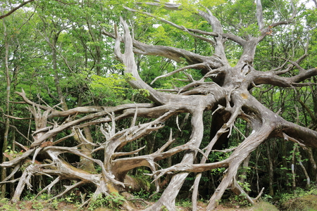 Natural white cedar wind down roots Kochi city, artificial stone mountain