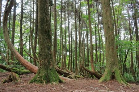 Roots bend Cedar Kochi city, artificial stone mountain