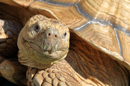 African spurred tortoise Stock Photo