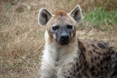 Spotted Hyena 스톡 콘텐츠