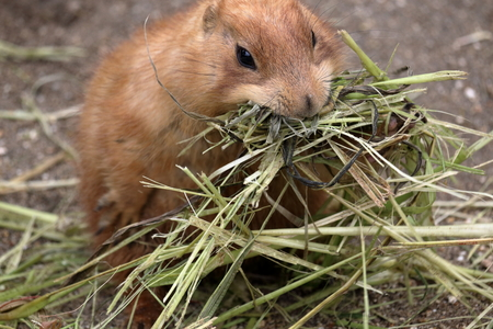 Prairie dogs eat too much, pay attention