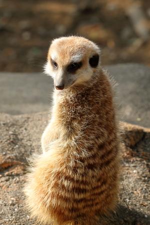 Meerkat sunlight exposure