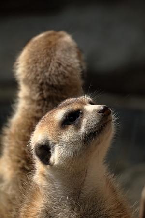 Meerkat 형제 스톡 콘텐츠 - 89701969