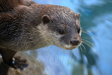 Otter close up