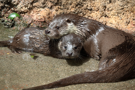 Watch out Otter parent and child 写真素材