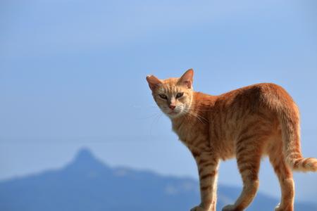Ogijimas cat (Kagawa Prefecture)
