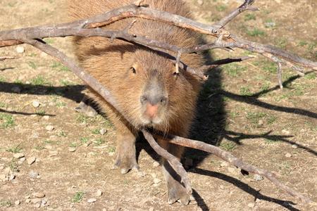 Capybara Banque d'images