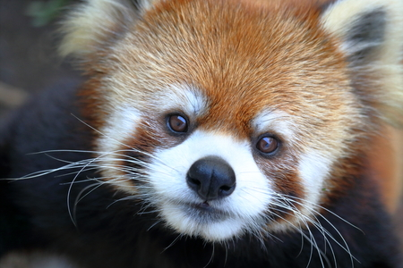 Lesser panda adorable