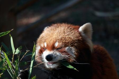 Lesser panda crazy for meals