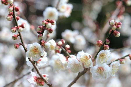 White plum (white Kaga)
