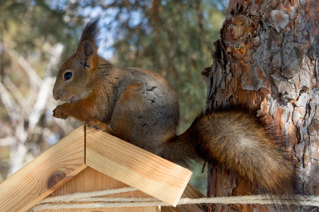 Red Eurasian squirrel sitting on a feeder in the winter Park. Walk in the Park in winter.