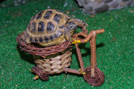 Central Asian turtle Biker. Turtle riding a scooter. Land turtle. 스톡 콘텐츠