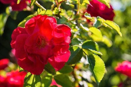 Beautiful blooming red rose. Closeup of rose. Flowering roses in the garden. Zdjęcie Seryjne