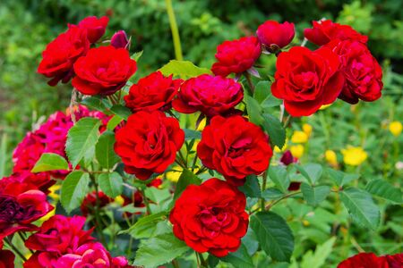 Closeup of bunch of red roses in the garden. Flowering roses in the garden. Zdjęcie Seryjne