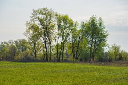 Tall beautiful trees standing along a grassy field. Trees on a green field in front of a large forest. Spring landscape.