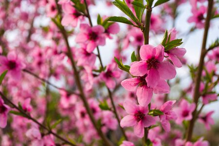 Closeup of peach blossom In full bloom. Peach blooming closeup on a tree in the garden. A flowering peach tree on a sunny day in the background. Selective focus.