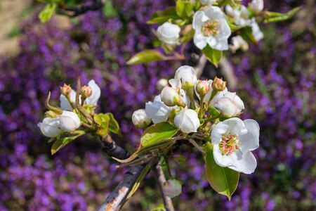Flowering branch of pear against the background of blooming mint. Flowers pear closeup. Soft selective focus. Reklamní fotografie