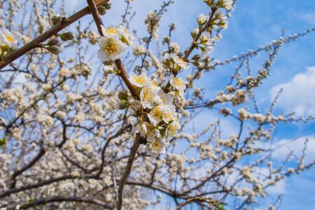 Spring blooming garden. Flowering branch of the plum tree (Prunus domestica) close-up against the blue sky. Soft bokeh. Selective focus. Stockfoto
