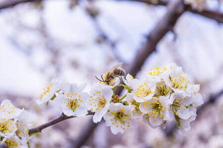 Spring blooming garden. Flowering branch of the plum tree (Prunus domestica) close-up. Plum flowers and a bee. Soft bokeh. Selective focus.