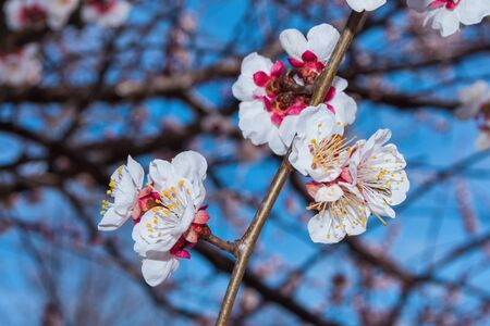 Spring blooming garden. Flowering branch of the apricot tree close-up. Soft bokeh. Selective focus. Reklamní fotografie