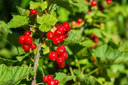 Red currant berries. Red berries close up. Natural fresh products. Stock fotó