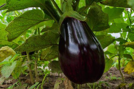 Ripe purple eggplant growing in a greenhouse. Ripe eggplant closeup. Soft selective focus.